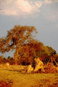 Lions at Sunset, Zambia